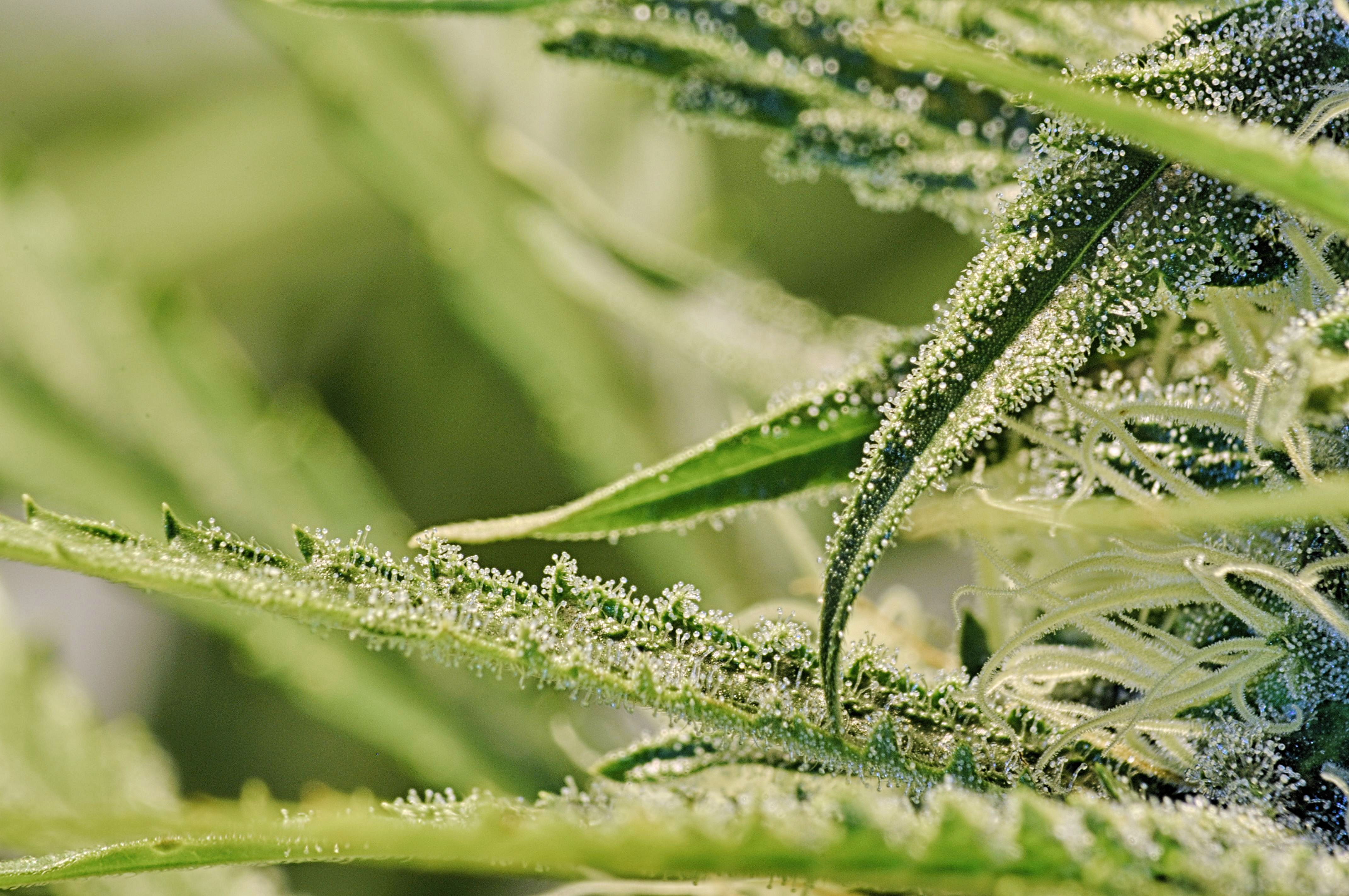 Blog cannabis crossbreeding an investigation into the creation of cannabis crossbreeding nvjuhfo Image collections