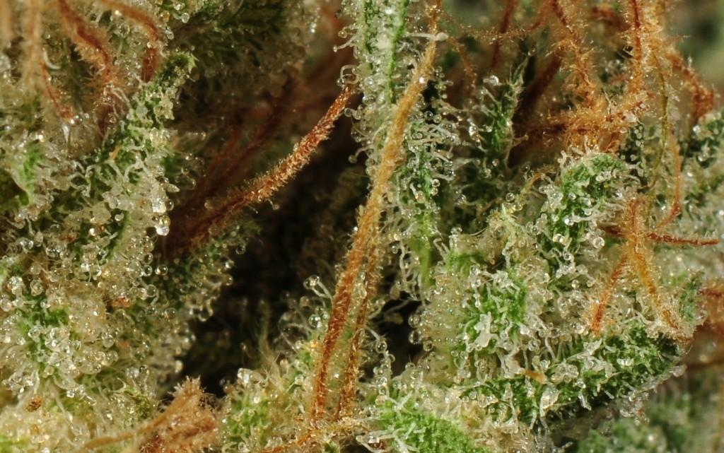 Cannabis Crossbreeding