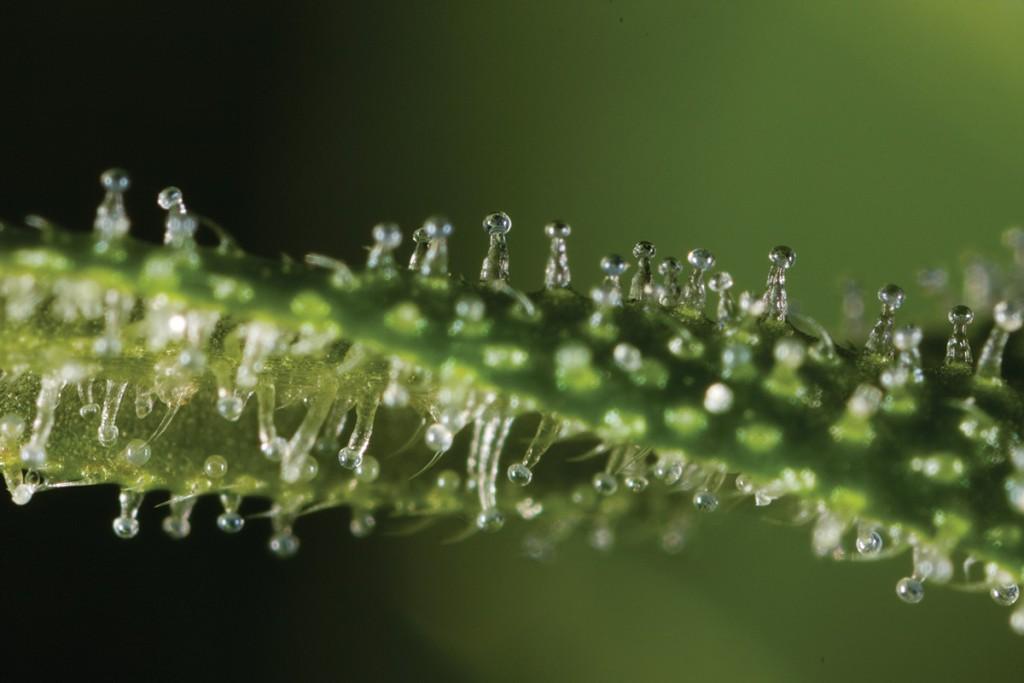 Cannabinoids: Thc-rich trichomes