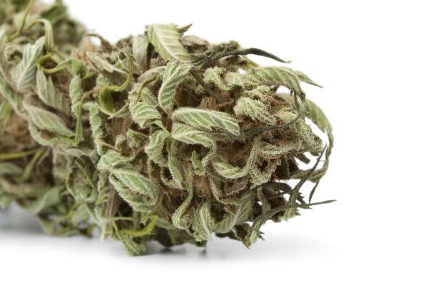 CBN-rich cannabis