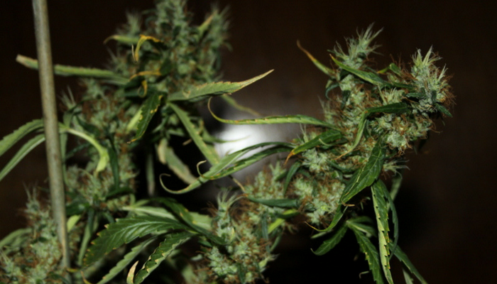 Best Christmas weed strains   GreenRush Blog