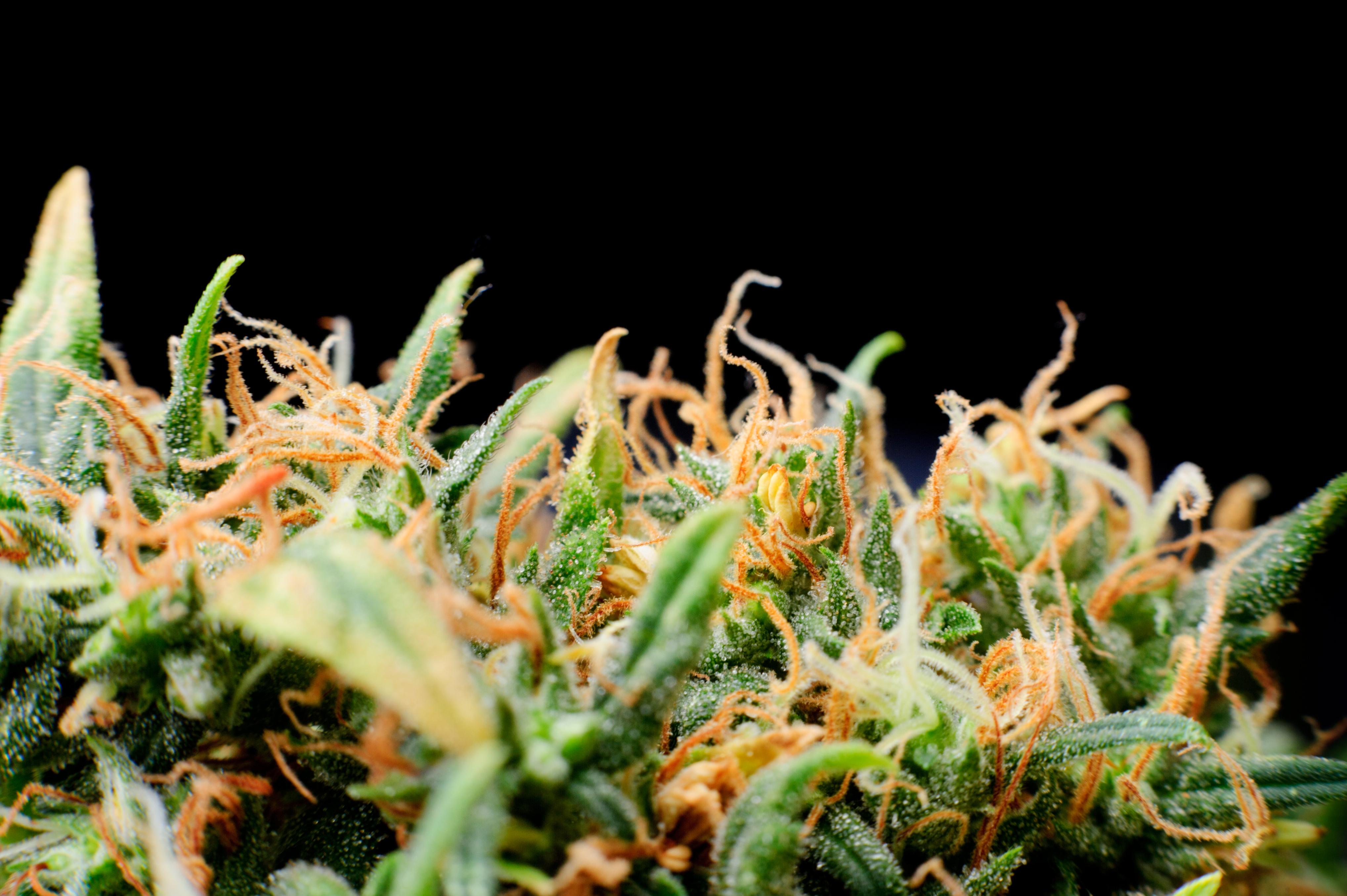 history of marijuana