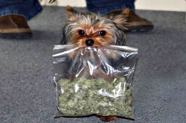dogs and weed