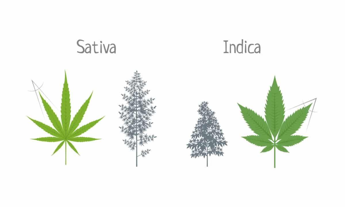 difference between sativa and indica